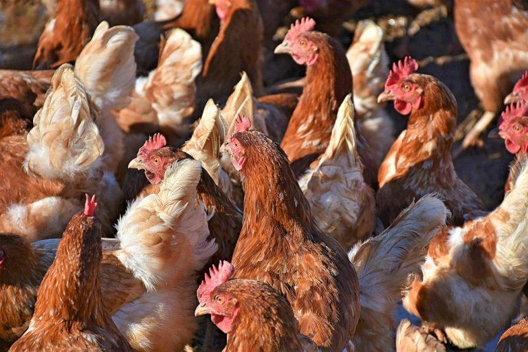Geflügelpest in Tierhaltung im Kreis Plön festgestellt – 76.000 Hühner müssen getötet werden